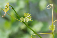 Young shoots and leaves of vine stock photo