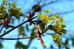 The young shoots of the maple. A maple Acer branch with young leaves and a brush of flowers in early spring stock photos