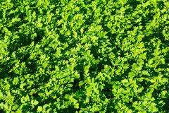 The young shoots of mustard. Green leaves of herbaceous plants. Textured background. Garden, vegetable garden Stock Image