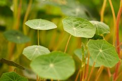 Young shoots of Nasturtium. Royalty Free Stock Photography