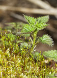 Young shoots of nettle among mosses. Royalty Free Stock Photo