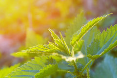 Young shoots of nettle. Natural green grass background. Urtica urens Royalty Free Stock Photography