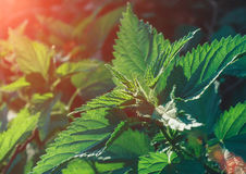 Young shoots of nettle. Natural green grass background. Urtica urens stock photography