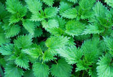 Young shoots of nettle Royalty Free Stock Photo