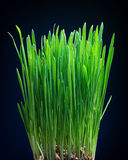 Young shoots of oats. On a dark background Royalty Free Stock Photo