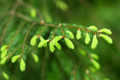 Young Shoots Of Spruce Royalty Free Stock Image