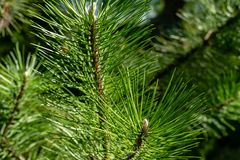Free Young Shoots On Branches Of Black Austrian Pine Pinus Nigra. Sunny Day In Spring Garden Stock Photography - 153230912
