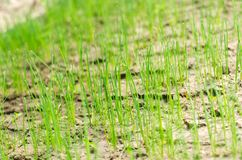 Young shoots of onions. Green long shoots of onion leaves, growing vegetables in the field. A farm for growing ecologically clean stock photos