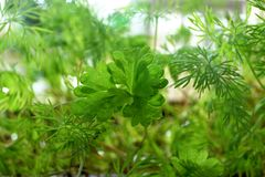 Young shoots of parsley and fennel. Young shoots of green parsley and fennel on the earth in a garden Royalty Free Stock Photos