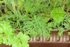 Young shoots of parsley and fennel. Young shoots of green parsley and fennel on the earth in a garden Stock Photo