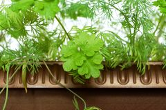 Young shoots of parsley and fennel. Young shoots of green parsley and fennel on the earth in a garden Stock Image