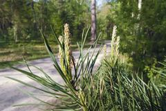 Young shoots of pine. Pine branch with needles and young shoots against the background of a blurred forest Royalty Free Stock Photos