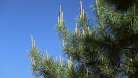 Young shoots of pine stock video