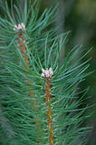 Young Shoots Of Pine. Tree royalty free stock photo