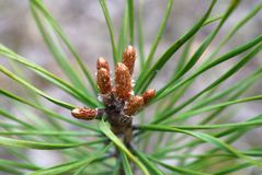 Young shoots of pine trees in the forest Stock Image