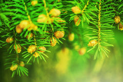 Young shoots of pine trees Royalty Free Stock Photos