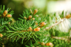 Young shoots of pine trees Royalty Free Stock Photo
