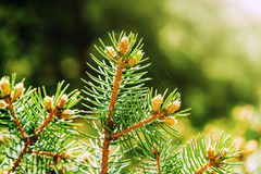 Young shoots of pine trees Stock Photography