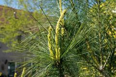 Young shoots of Pinus wallichiana or Himalayan pine in spring royalty free stock images