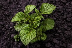 Young shoots of potatoes. Against a background of dark ground Stock Images