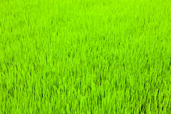 The young shoots of rice in a field. Young beautiful sprouts of rice in the background closeup Stock Image