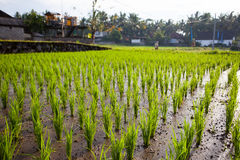 The young shoots of rice in a field. Young beautiful sprouts of rice on the wet ground in the field. The farmer cares for the crop. Bali, Indonesia Royalty Free Stock Photo