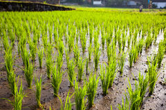 The young shoots of rice in a field Royalty Free Stock Photos