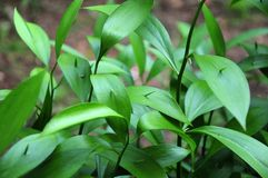 Young shoots of ruscus hypoglossum. Leaves of a butchers broom plant with young shoots of cladodes in springtime royalty free stock images