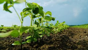 Young Shoots of Soybean in an Agricultural Field.