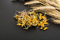 Young shoots sprouted grains of cereals Royalty Free Stock Photo