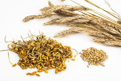Young Shoots Sprouted Grains Of Cereals Royalty Free Stock Images