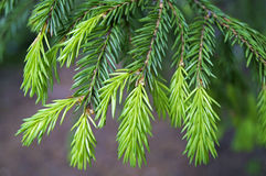 Young shoots of spruce branches. Spring Stock Images
