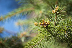 Young shoots of spruce Royalty Free Stock Photography