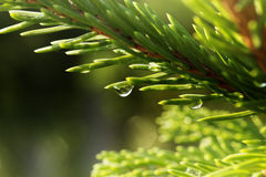 Young shoots of spruce trees after rain Royalty Free Stock Photos