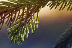 Young shoots of spruce trees after rain Royalty Free Stock Photography