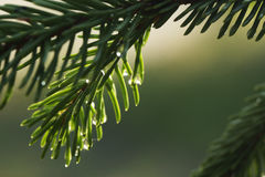 Young shoots of spruce trees after rain Stock Photo