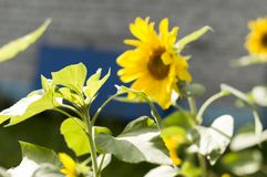 Young shoots of sunflowers bloomed near the house Helianthus annuus . stock photography