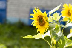 Young shoots of sunflowers bloomed near the house Helianthus annuus . royalty free stock photo