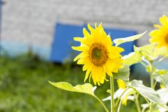 Young shoots of sunflowers bloomed near the house Helianthus annuus . royalty free stock photos