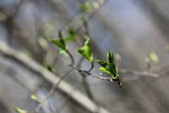 Blossoming young leaves of trees. The young shoots of the tree in spring forest in may, nature comes alive royalty free stock photo