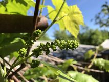 Young shoots of a vine ha against a blue sky background. Ovary of a bunch of grapes. Little green grapes Royalty Free Stock Photos