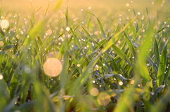 The young shoots. Of wheat with drops of dew Stock Photo