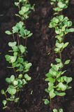 Young shoots of white cabbage in the garden stock photography