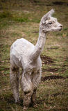 A young shorn white llama Royalty Free Stock Photo