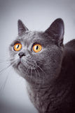 Young short-haired British gray cat Royalty Free Stock Image