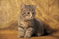 Young short-haired  cat Royalty Free Stock Photos