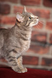 Young short-haired  cat Stock Photography