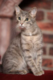 Young short-haired  cat Royalty Free Stock Images