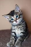 Young Short-Haired Grey Tabby Kitten. A young short-haired gray tabby kitten with brilliant blue eyes sits looking into the camera with a sad looking expression Royalty Free Stock Photography