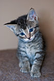 Young Short-Haired Grey Tabby Kitten. A young short-haired gray tabby kitten with brilliant blue eyes stands looking down to camera left with a sad looking Stock Photos